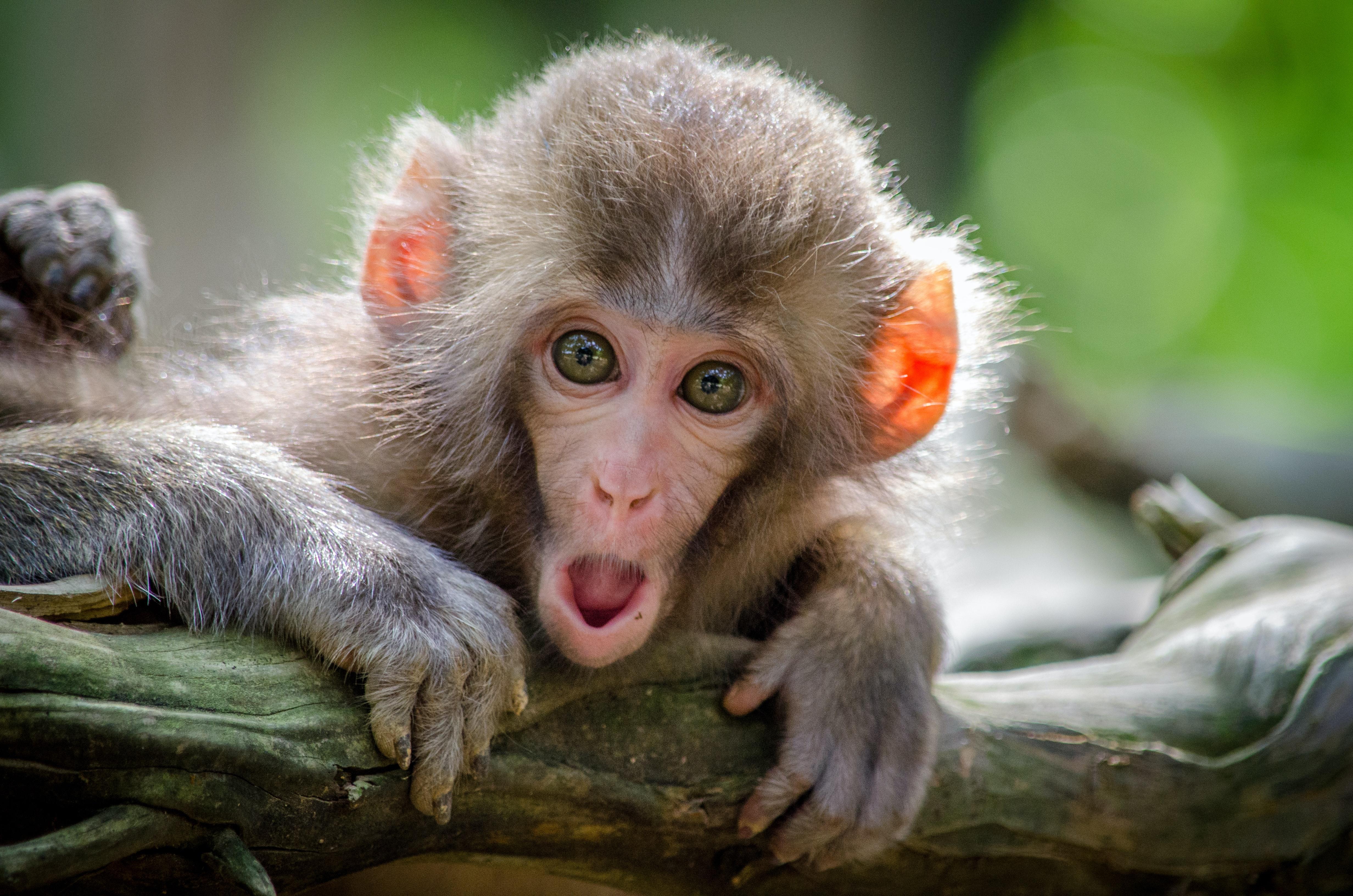 spór z małpą kancelaria PWL